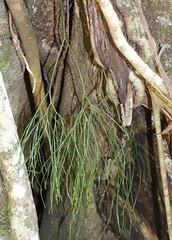 Skeleton Fork Fern (Psilotum nudum) (Poytr) Tags: psilotumnudum psilotaceae psilotum way wayway macksville arffern ficuswatkinsiana subtropicalarf subtropicalrainforest nsw arfp nswrfp qrfp vrfp fern epiphyte arfepiphyte ficus moraceae wood tree whiskfern waywaystateforest