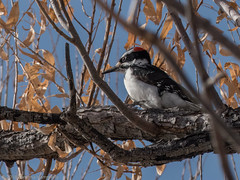 Hairy Woodpecker, male (Ramona H) Tags: bosquedelapache hairywoodpecker nm newmexoco picoidesvillosus bird woodpecker