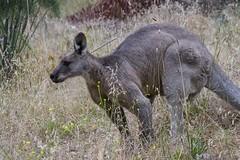 Eastern Grey Kangaroo (Geoffsnaps) Tags: eastern grey kangaroo easterngreykangaroo canberra patliamenthouse act australiancapitalterritory lakeburleygriffin ilovenature animals nature beautiful beautyofnature nikond810 nikon d810 fx superbbirds nikonnikkor200500mmf56eedafs nikkor 200500mm f56e e ed afs acratech head carbon gp ballhead gitzogm5541carbonmonopod gitzo gm5541 monopod