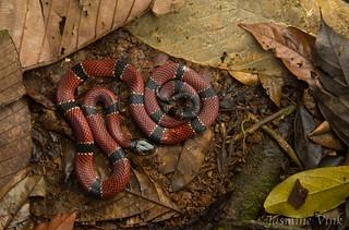 Trans-Andean coral snake (Micrurus transandinus)