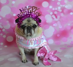 Happy 13th Birthday Bailey Puggins! (DaPuglet) Tags: pug pugs dog dogs animal animals birthday princess tiara diva costume happybirthday 13 coth5