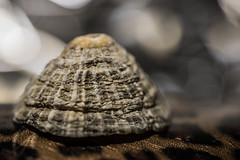 Macro Mondays theme : Speckled (www.marnickwijffels.be) Tags: macromondays macro speckled shell schelp