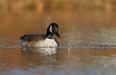 Splish Splash (Cameron Darnell) Tags: goose canada cameron tamron 2017 fall autumn geese wild wildlife pond water reflection nature animal bird birds birding avian photo photography canon