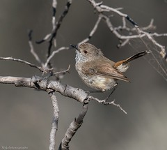 Inland Thornbill (Mykel46) Tags: sony a9 100400mm birds nature