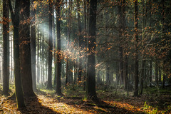 Colors of Autumn (der_peste (on/off)) Tags: forest woods woodland tree leaves autumn color forestscape light rays sunrays sunlight sunbeams godrays painterly