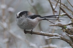 IMGP7745 Long-Tailed Tit (kevin_livesey) Tags: birdwatching garden birds long tailed tit nature wildlife