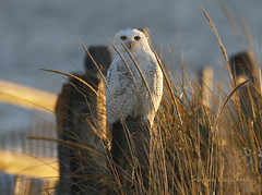 The Unexpected (slsjourneys) Tags: owl snowyowl islandbeachstatepark winter beach