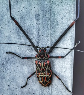 Acrocinus longimanus - Giant Harlequin Beetle (Linnaeus, 1758)
