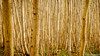 Dense (Paul Babington Photography) Tags: wood dense cobham kent trees vertical thick