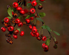 _MG_3217.CR2 (jalexartis) Tags: winter winterberries pyracantha firethorn firethornpyracantha pyracanthaberries lighting