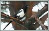 Pie 180216-02-P (paul.vetter) Tags: piebavarde picapica corvidé oiseau eurasianmagpie urracacomún pega elster