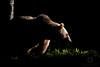 Shadow Dweller (LawrieBrailey) Tags: brown bear ursus lightplay outline sillhouette back light lit camera lawrie brailey wwwlawriebraileycouk finland russia wild wildlife photo photography nikon d3 hide rimlit rim lighting evening sun sunlit