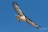 Red-tailed Hawk grabs a meal, devours it whole (TonysTakes) Tags: redtailedhawk hawk raptor bird wildlife colorado coloradowildlife weldcounty