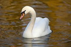 Wildlife 2018_0486 (Adam Swaine) Tags: swans birds wildlife wildfoul england english britain britishbirds peckhamryepark naturelovers nature uk ponds ukcounties rspb canon