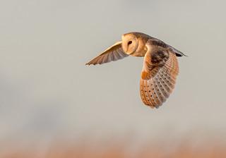 DSC0915  Barn Owl..