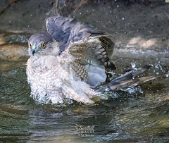 Cooper's Hawk in taking a bath on a very hot Florida afternoon. (spensered) Tags: coopershawk raptors