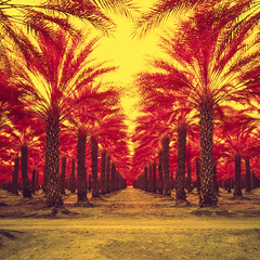 infinite palms (color infrared). mecca, ca. 2018. (eyetwist) Tags: eyetwistkevinballuff eyetwist mecca palms palmtrees vanishingpoint infinite california desert saltonsea mamiya 6mf 50mm kodak aerochrome infrared eir mamiya6mf mamiya50mmf4l kodakektachromecolorinfrared plantation rows order ca111 ishootfilm analog analogue film mamiya6 square 6x6 mediumformat 120 filmexif iconla epsonv750pro lenstagger ishootkodak sonorandesert dry bleak landscape roadsideamerica salton sea sand palm trees fronds american west date farm ranch vanishing point perspective geometric fruit harvest palmsprings 111 row thermal coachella agriculture yellow red filter 090 ektachrome colorinfrared