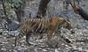 Tiger (praveen.ap) Tags: tiger bengal bengaltiger royalbengaltiger ranthambhore ranthambhoretigerreserve ranthambhorenationalpark ranthamborenationalpark ranthamboretigerreserve rajasthan zone2 2 singhsth t57 57