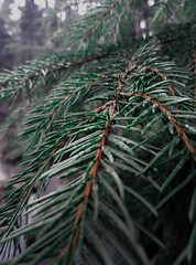 Helsinki, Finland (lisa_nikolajeva) Tags: botanical botany branch color conifer coniferous decoration decorative detail evergreen fir flora forest growth holiday leaf natural needle needles outdoors pattern pine plant plants prickly season sharp spruce thorn tree winter woods helsinki уусимаа финляндия