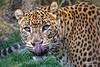 Panthera pardus kotiya (Ceylon leopard) (Explore Feb 23, 2018 #180) (Abariltur) Tags: abariltur castellón spain nikond90 afsvrmicronikkor105mmf28gifed macro pantheraparduskotiya leopardodeceilán kotiya bioparcvalencia valencia macrofotografía