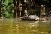 Schildkröte II (mt aus b) Tags: 2018 costarica mtausb urlaub schildkröte