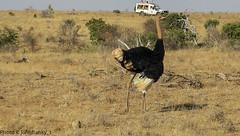 Safari-Tsavo National Park-Kenya (15) (johnfranky_t) Tags: struzzo tsavo national park kenya kenia t fuoristrada toyota 4x4 savana erba secca cespugli penne collo becco fotografi johnfranky ostrich feathers neck animal grass 4 wheels drive bushes