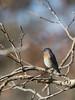 Western Bluebird (Nam Ing) Tags: westernbluebird