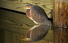 We cannot see our reflection in running water.  It is only in still water that we can see. (Shannon Rose O'Shea) Tags: shannonroseoshea shannonosheawildlifephotography shannonoshea shannon tricoloredheron heron bird beak feathers reflection reflections shipyardplantation hiltonheadisland southcarolina wings nature wildlife waterfowl water yelloweye colorful outdoors outdoor flickr wwwflickrcomphotosshannonroseoshea art photo photography camera wild wildlifephotography egrettatricolor canon canoneos80d canon80d eos80d 80d canon100400mm14556lisiiusm closeup close fluffy