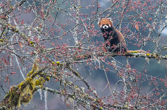 Red Panda in the wild. (Tim Melling) Tags: ailurus fulgens styani red panda labahe sichuan china timmelling wild