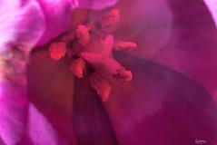 Pink (fs999) Tags: 100iso fs999 fschneider aficionados zinzins pentaxist pentaxian pentax k1 pentaxk1 fullframe justpentax flickrlovers ashotadayorso topqualityimage topqualityimageonly artcafe pentaxart corel paintshop paintshoppro 2018ultimate paintshoppro2018ultimate masterphotos fleur flower blume bloem macrolife macro makro tamronspafdi90mmf28macro tamron sp af di 90mm macrolens 11 metzflash52af1digital metz flash metz52af1 ray rayflash universal l adaptateur annulaire ring adapter