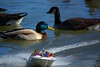 What's The  Matter? (swong95765) Tags: water river ducks mallard boating family speed