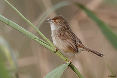 Graceful Prinia (Dave 5533) Tags: gracefulprinia songbird bird nature wild outdoor birwatching wildlife naturephotography animal birdsinisrael animalplanet wildlifephotography canoneos1dx canonef300mmf28 coth coth5