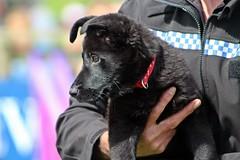 Police Dogs - Devon County Show - May 2017 (Dis da fi we) Tags: police dogs devon county show