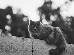 2018-01-13 17-42-34_072b_Canon FL 135mm f2.5 (wNG555) Tags: 2018 arizona phoenix cats bw canonfl135mmf25 fav25 fav50