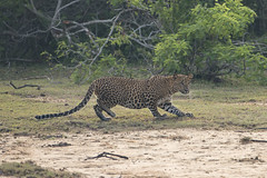 Leopard 9520 (Chris Galvin Photography) Tags: leopard srilanka yala wildlife bigcats safari photography