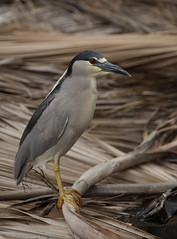 1DM39292 View Large. Black-crowned Night Heron. Kaanapali Maui, Hawaii (E.W. Smit Wildlife.) Tags: ef300mmf28lis ef300mmf28lisusm ef300mmf28lis14x canonef300mmf28lis canonef300mmf28lisusm canonef300mmf28lis14x canonef300mmf28lisusm14x wildanimals wildanimal animal animals tourist tourists telephotolens unitedstatesofamerica usa outdoor outdoors bird birds ocean park parks avian lake canon nature 1dmarkiii canon1dmarkiii canoneos1dmarkiii ef300mmf28lisusm14x wildlife gitzo supertelephotolens heron blackcrownednightheron nightheron canonef14xextenderii canonef14xextender 14x canonef14x kaanapali kaanapalimaui mauihawaii maui rookery island pacificocean hawaii mauimarriottsoceanclub