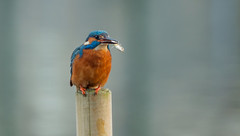 Catch of the day... (petegatehouse) Tags: kingfisher meal fish post stickleback