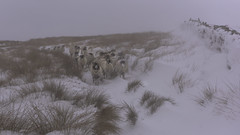 A whiter shade of pale (Malajusted1) Tags: winter weets hill pennine bridleway moors westpenninemoors fell walking beast from east storm emma barnoldswick pendle snow sheep farming lancashire