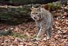 im neuen Revier (Mel.Rick) Tags: tiere raubtiere säugetiere animal mammals raubkatzen natur luchs