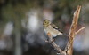IMG_0414 Chardonneret jaune, Roberval (joro5072) Tags: animal nature oiseau bird chardonneret goldfinch
