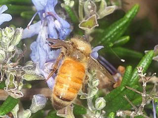 European Honey bee P1033708