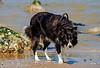 Sterre 15 (lizzaminelli) Tags: bordercollie animal pet dog dogs nikon nikond3200 outdoor beach waves sea kijkduin