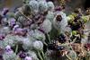 Klettenblüten Brombeeren (tama*) Tags: garten juli wildpflanze strauss