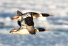 Red-breastd Mergansers, males, Brant Point, ACK (LeeDunnPhotos) Tags: bif brantpoint frozen goodlight harbor ice males pair redbreastedmerganser sun