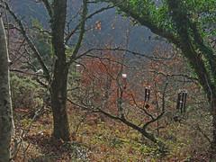 Recording wind chimes (4 sets) in copse by Hunter's Path, Teign Gorge (Philip_Goddard) Tags: europe unitedkingdom britain british britishisles greatbritain uk england southwestengland devon dartmoornationalpark drewsteignton teignvalley teigngorge hunterspath views scenery landscapes woodland wood valley hill windchimes recording winter