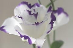 7DWF.....Flora....LISIANTHUS (Sue Armsby) Tags: 7dwf flowers flora fabulousflowers fragrant white purple pretty leaves light