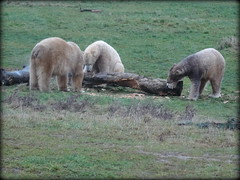 Polar bear carpentry (Pixel, Nissan and Nobby) (LadyRaptor) Tags: yorkshirewildlifepark yorkshire wildlife park doncaster ywp nature outdoors winter grass log logs lumber timber wood play playing carving digging sculpting woodwork toy enrichment happy content relaxed fun besties best friends bffs buddies pals friendly cute animal animals predator carnivore caniformia ursidae polarbear polarbears male males polar bear bears ursusmaritimus projectpolar pixel nissan nobby carpentry