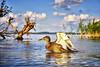 Ich heb ab (danielrudolf.pics) Tags: waterfowl waterbird mallard shore swim salt marsh seashore ripple utah lake duck pelican egret ente mv mecklenburg vorpommern schwerin schweriner see wasser
