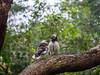 Black-collared starling (Gracupica nigricollis), クビワムクドリ, Hong Kong park (yuyugreen) Tags: 香港 旅行 中国 hongkong china travel 公園 park