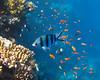 Zebra and his red friends (bayernphoto) Tags: korallenriff riff reef coral bunt steinkorallen weichkorallen lederkorallen nemo clownfisch rochen blaupunkt leopard papageifisch fisch fish klar crystal clear aegypten egypt misr napoleon lippfisch schildkroete turtel turtoise barsch grouper colorful intakt vielfaeltig diversitaet diversity falterfisch feilenfisch wimpelfisch doktor druecker kugelfisch moerdermuschel fusiliere red sea sohal wadi lahamy bay strand schnorcheln snorkelling diving apnoe picasso schwaemme mangroven meer unterwasser weichkoralle riffdach schnorchler